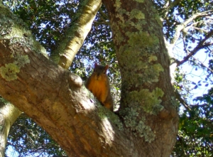 fox-squirrel