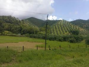 Pineapple groves