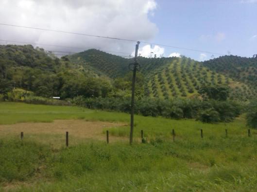 Pineapple groves